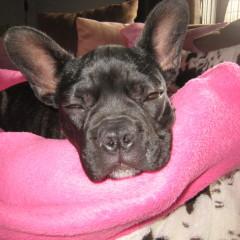Französische Bulldogge, Zuchttauglichkeitsprüfung, Farbe dark brindle